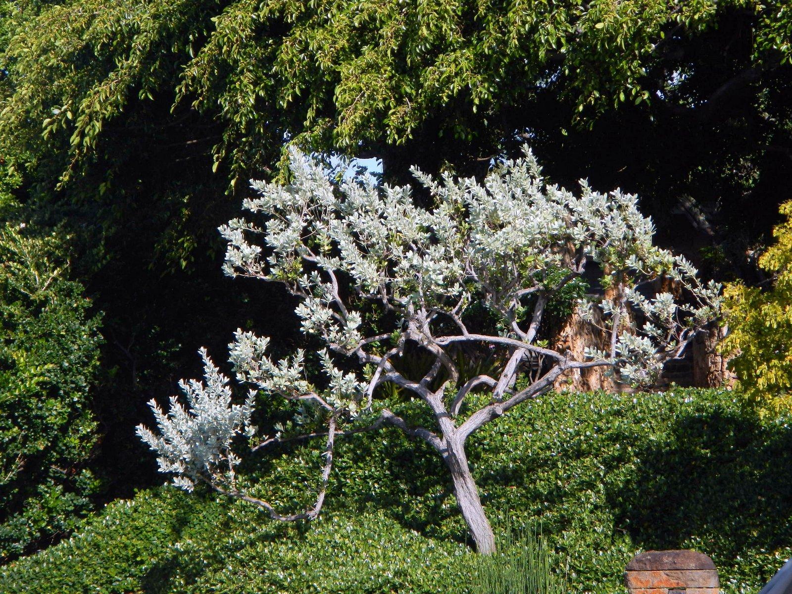 HB- silver bttnwd tree -landscape