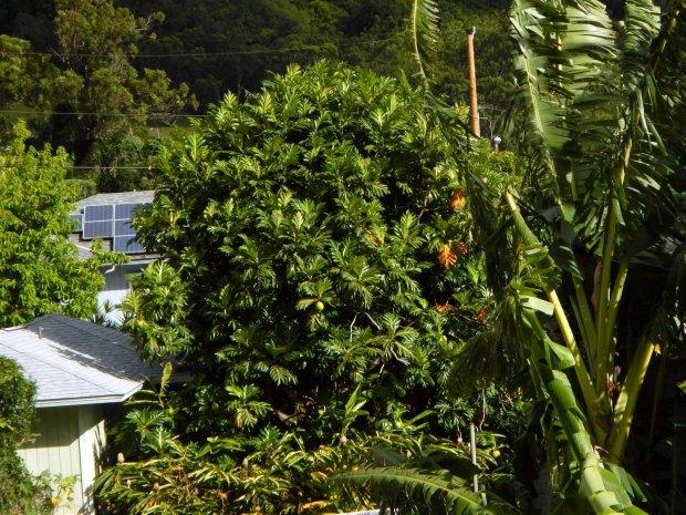 Ulu or Breadfruit Tree